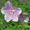 Geranium pratense 'ilja'