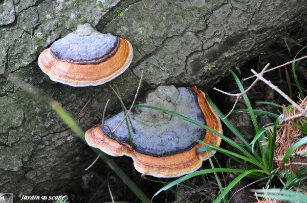 Fomitopsis-pinicola
