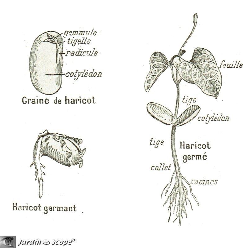 Dessins-cotylédon
