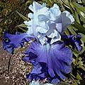 iris over night sensation