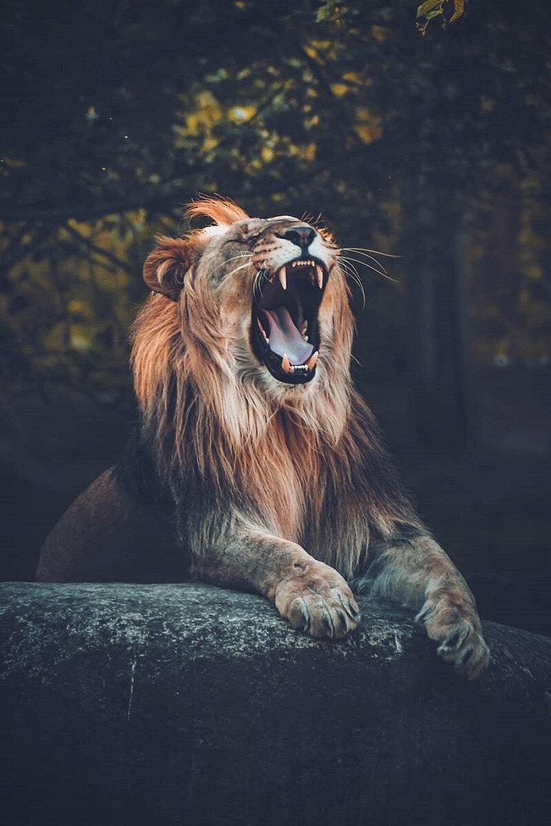 lion_pfd39bVHv41reae9uo1_1280