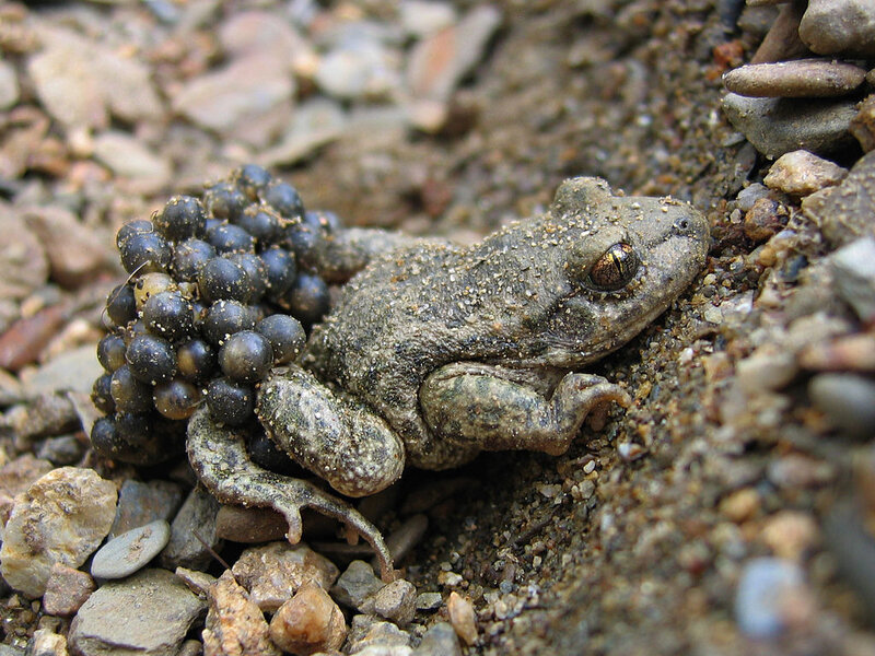 1024px-Alytes_obstetricans_almogavarii_-_male_with_eggs