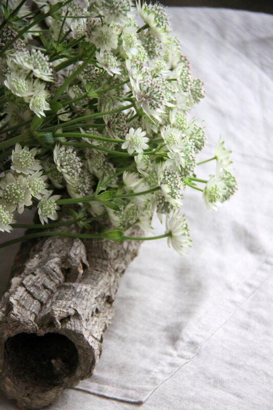Astrentias blanches (19)