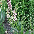 Verbascum 'southern charm'