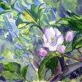 Les pommiers sont en fleur...