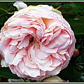 Rose ancienne 300515