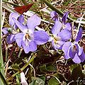 Violette suave
