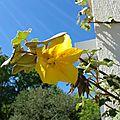 Comment j'ai massacré mon fremontodendron