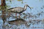 ibis_plomb__9_