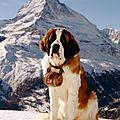 Le chien d'avalanche