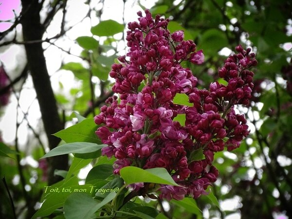 Lilas normand