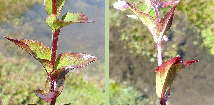 les médianes sessiles aiguës longues de 10-40 mm