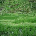 Rizière, région d'Ubud