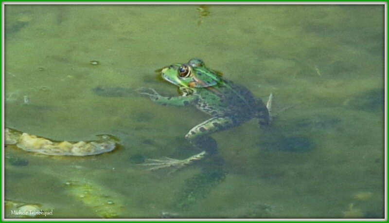 Grenouille 0404152