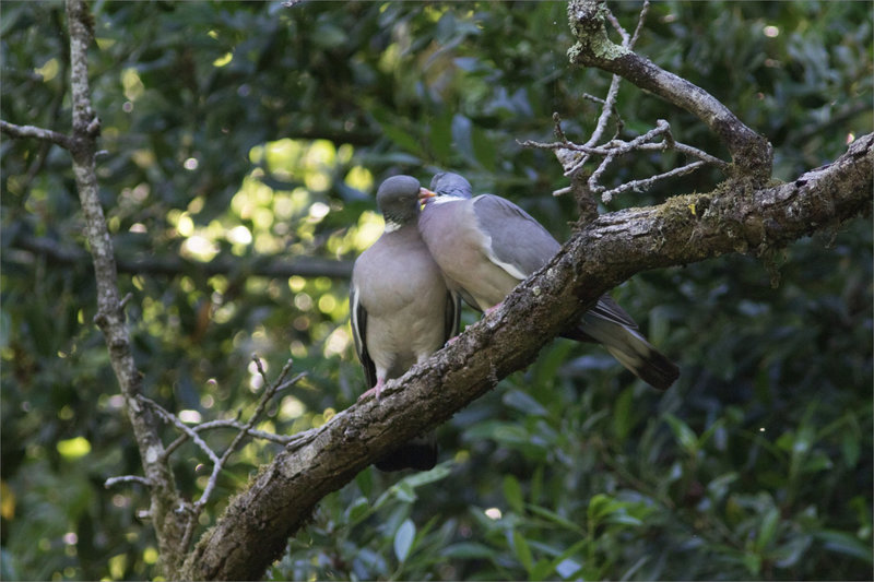 Pigeons ramiers bisous juin 2021 1