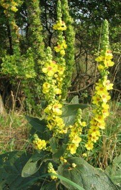 Molene Noire Verbascum Nigrum Vue Landes Nature Faune Flore