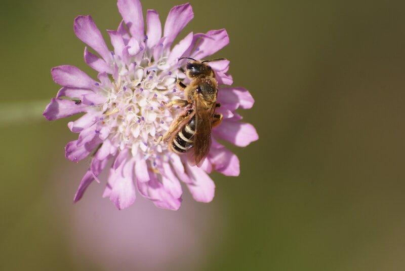 abeille - colettes succintus 77
