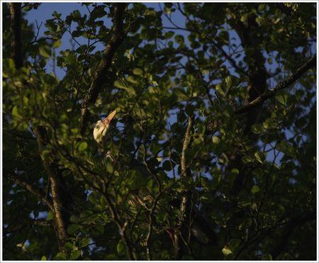 heron_dans_arbre_bec_oeil_matin_2_110508_MS