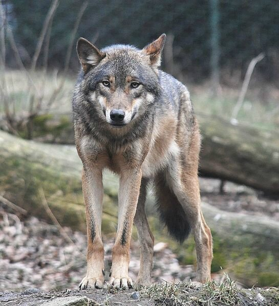 European_grey_wolf_in_Prague_zoo