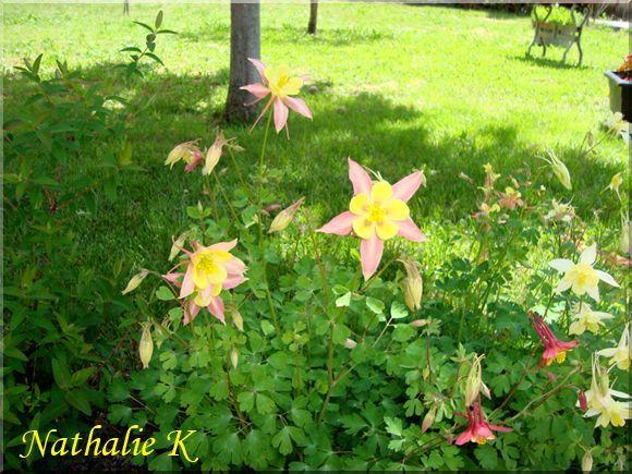 _c_LNK_le_13_mai_2010_encolies_arbuste