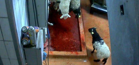 bandeau-agneaux-abattage-mauleon