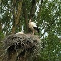 Cigogne blanche en lorraine 2015 2ème