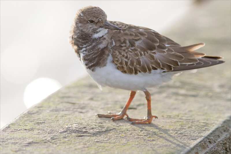 Baie Aiguillon 300 241020 45 oiseau tournepierre ym