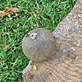 Porphyrellus porphyrosporus (1)