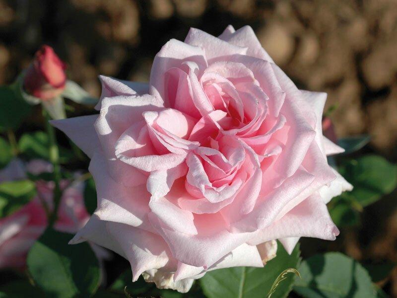 roses_lyonnaises-La_France