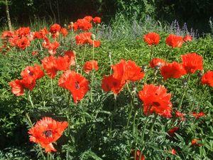 fleurs_rouges