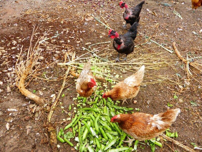 23-fèves et poules (4)