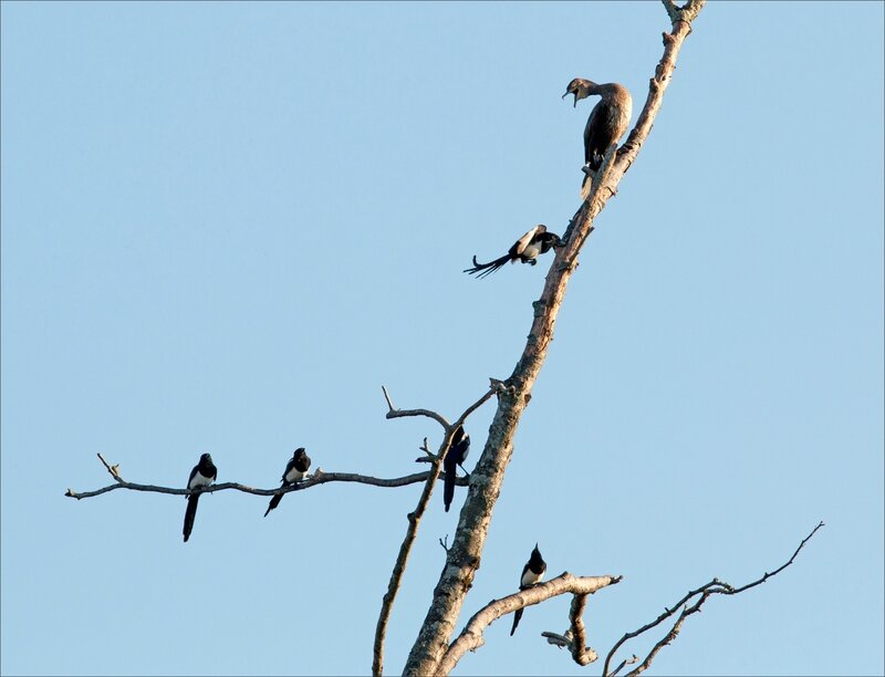 ville cormoran pies matin 290916 1