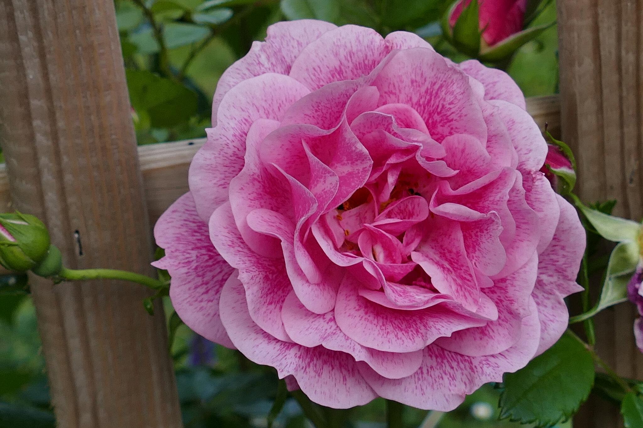La rose Invictus