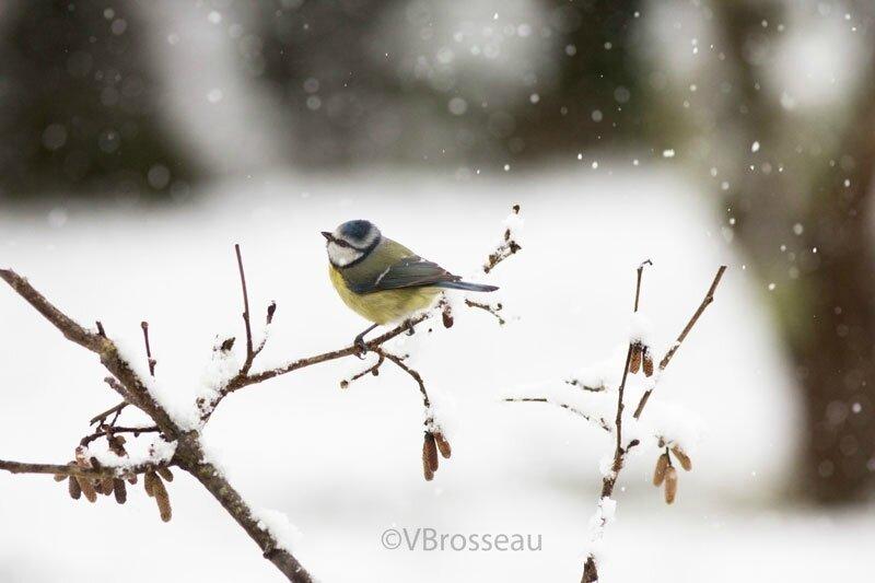 neige-mésange-bleue18-03