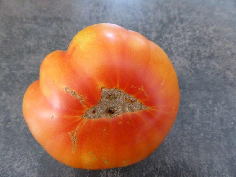 02-tomate joyau d'oaxaca (1)