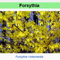 fleurs de forthysias