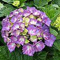 hortensia mauve1