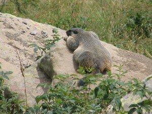 Marmotte___Allos_6