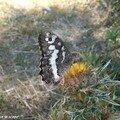 Silène • Brintesia circe • Famille des Nymphalidae