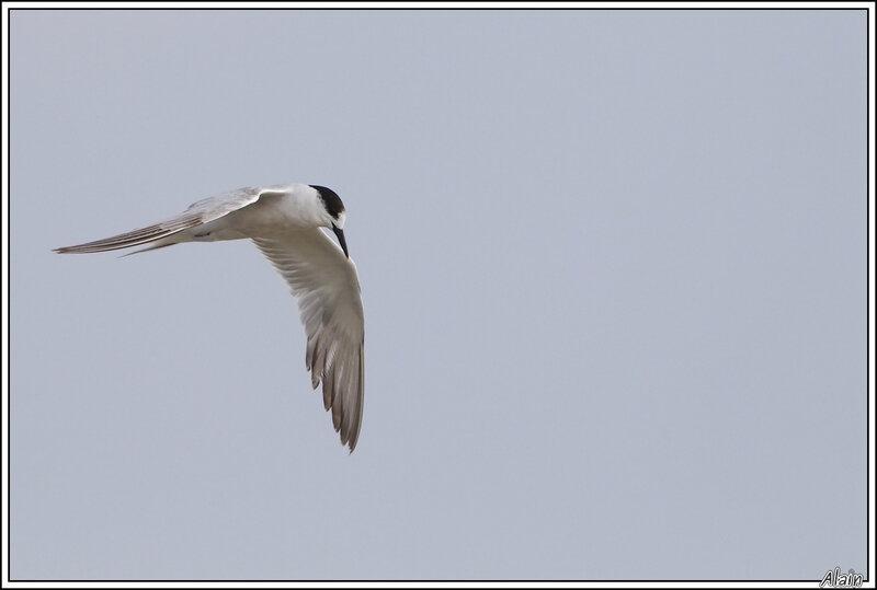 Sterne caugek, en plumage internuptial