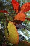 DSC_8599_Cotinus_pourpre_automne_2007