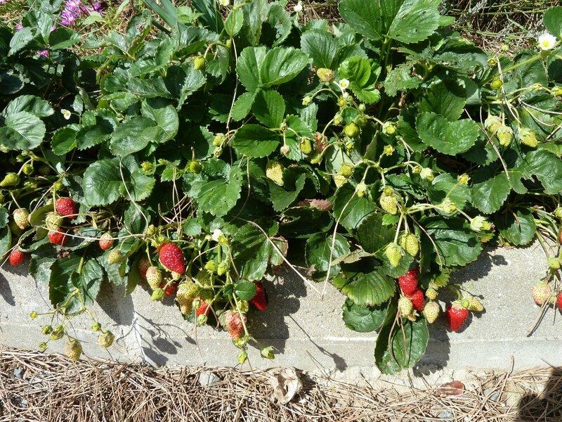 1-fraisiers (3)