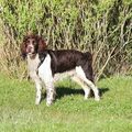 Bali (English springer spaniel)