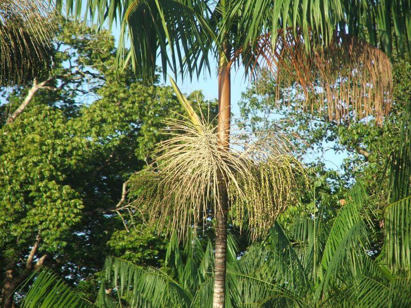 Acai-palmier