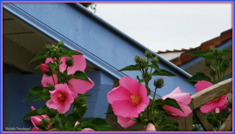 Althéas roses 220715