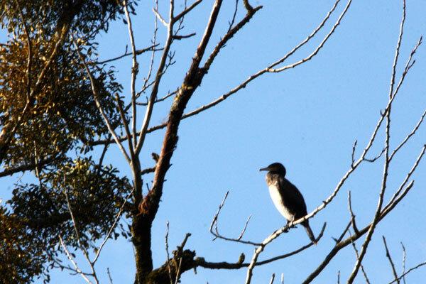 cormoran-b