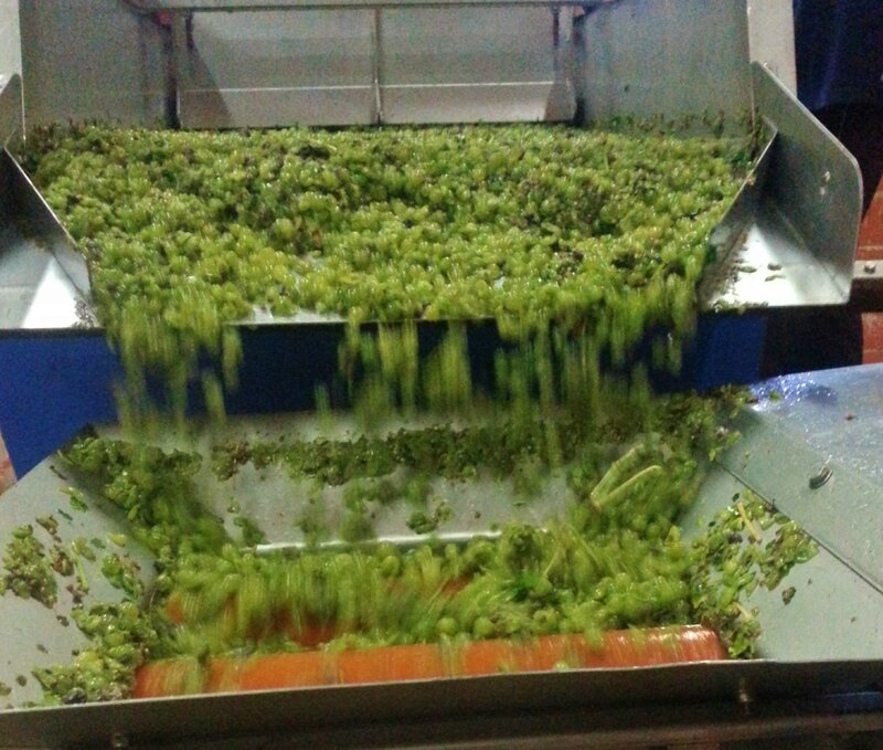 VENDANGES BLANCS 2015 (1)
