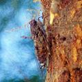 Cigale commune • Cicada plebeja • famille des Cicadidae