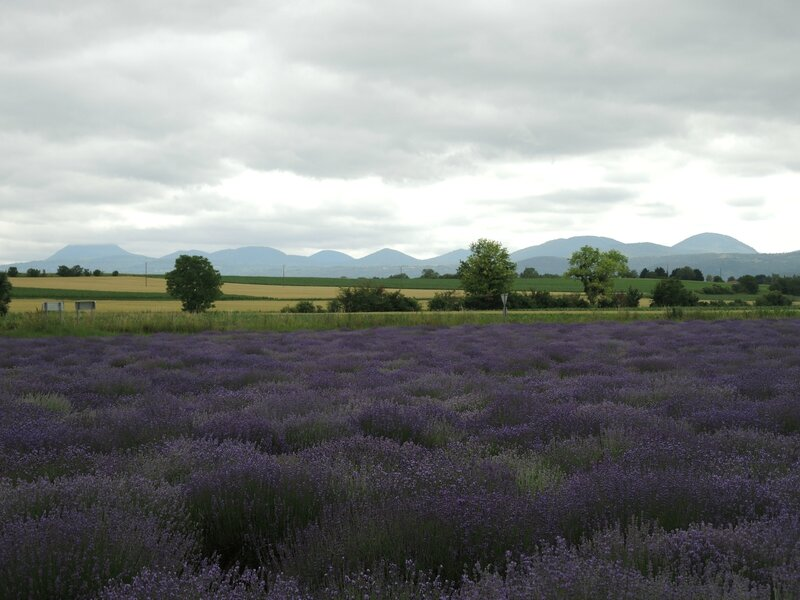 Le Cheix-sur-Morge, champ de lavande et chaine des Puys