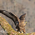 Buteo buteo (buse variable)